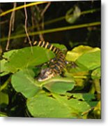Baby Alligator Metal Print