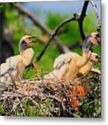 Baby Anhinga Chicks Metal Print