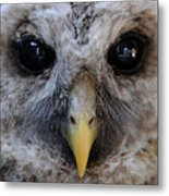 Baby Barred Owl 3 Metal Print