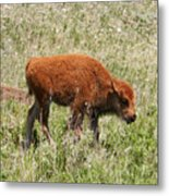 Baby Bison Metal Print