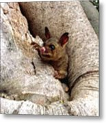 Baby Brushtail Possum Metal Print