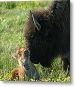 Baby Buffalo And Mother Metal Print