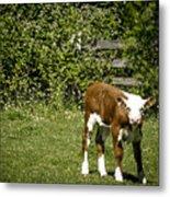 Baby Calf 2 Metal Print