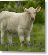 Baby Calf With Bluebonnets Metal Print