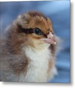 Baby Chicken Metal Print by Angie Wingerd