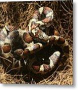 Baby Corn Snake Metal Print