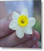 Baby Daffodil Metal Print