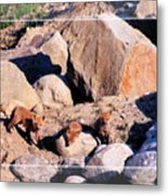 Baby Foxes Metal Print