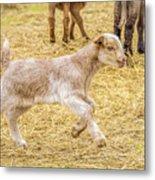 Baby Goat On The Run Metal Print