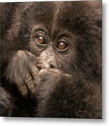 Baby Gorilla Close-up Hiding Mouth With Hands Metal Print