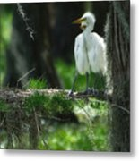 Baby Great Egrets With Nest Metal Print