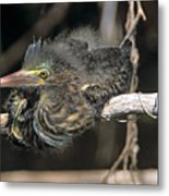 Baby Green Heron Resting On A Branch Metal Print