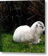 Baby Lamb Metal Print