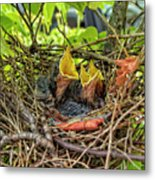 Baby Mockingbirds Metal Print