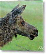 Baby Moose With Dew Metal Print