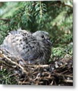 Baby Morning Dove Metal Print