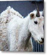 Baby Mountain Goat Metal Print
