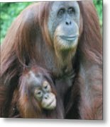 Baby Orangutan Clinging To His Mother Metal Print