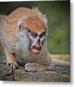 Baby Patas Monkey On Guard  Metal Print