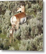 Baby Pronghorn Feeding Metal Print