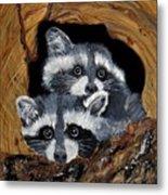 Baby Raccoons Metal Print