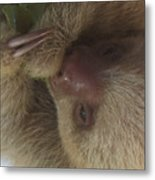 Baby Sloth Metal Print by Gregory Young