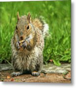 Baby Squirrel's First Peanut Metal Print