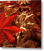 Back-lit Japanese Maple Leaf On Dried Leaves Metal Print