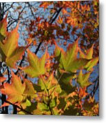 Back-lit Sugar Maple Leaves From Below Metal Print