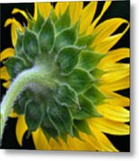 Back Of Sunflower Metal Print
