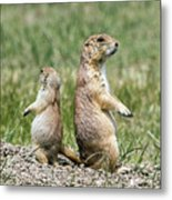 Back To Back Prairie Dogs Metal Print