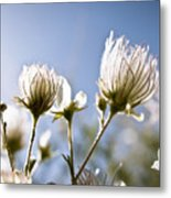Backlit Fuzzy Flower Metal Print by Ray Laskowitz - Printscapes