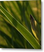 Backlit Iris Bud In Evening Metal Print