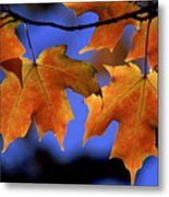 Backlit Maple Leaves Metal Print