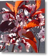 Backlit Pink Tree Blossoms Metal Print