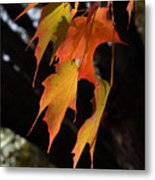 Backlit Sugar Maple Leaves With Trunk Metal Print