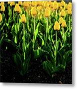 Backlit Tulips Metal Print
