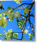 Backlit White Tree Blossoms Metal Print