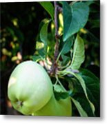 Backyard Garden Series - 2 Apples Metal Print