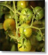 Backyard Garden Series - Green Cherry Tomatoes Metal Print