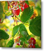Backyard Garden Series - Sunlight On Raspberries Metal Print