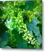 Backyard Garden Series - Young Grapes Metal Print by Carol Groenen