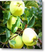 Backyard Garden Series- Golden Delicious Apples Metal Print