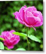 Backyard Rose Metal Print