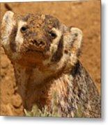 Badger Covered In Dirt From Digging Metal Print