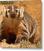 Badger Pausing From Digging Around In Dirt Metal Print