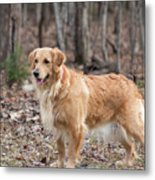 Bailee The Golden Metal Print
