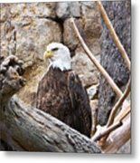 Bald Eagle - Portrait Metal Print