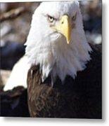 Bald Eagle 1 Metal Print