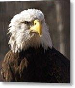 Bald Eagle 5 Metal Print